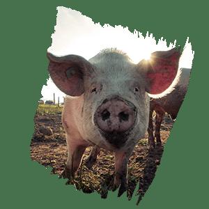 cochon de bretagne picto eleveur
